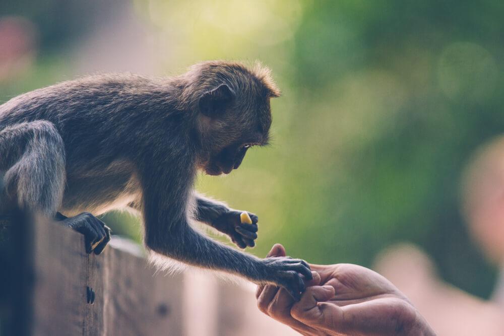 Dar comida a los monos.