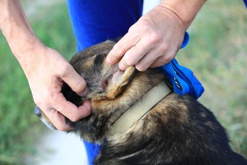 Cómo se eliminan los ácaros en las orejas de los perros