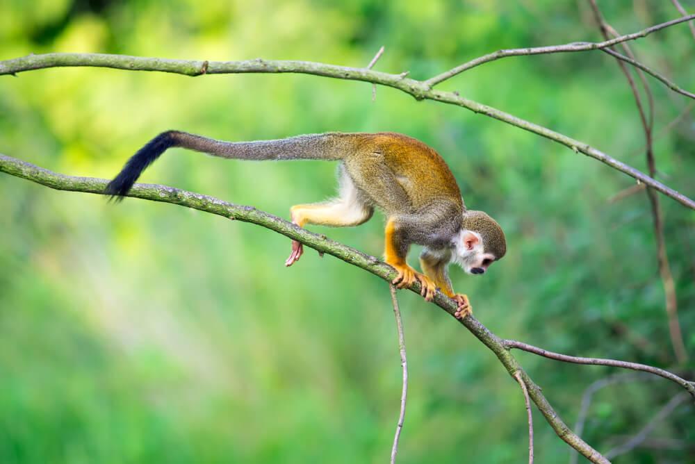 Comportamiento del mono ardilla.