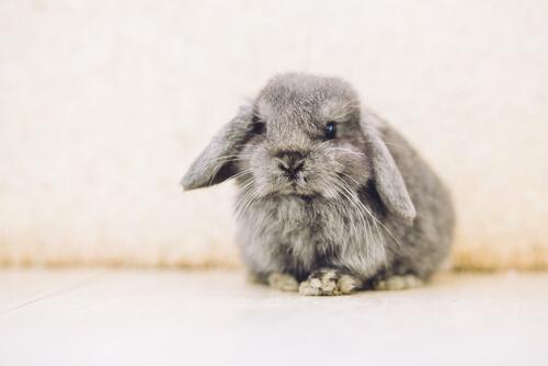 Conejo belier: características y cuidados