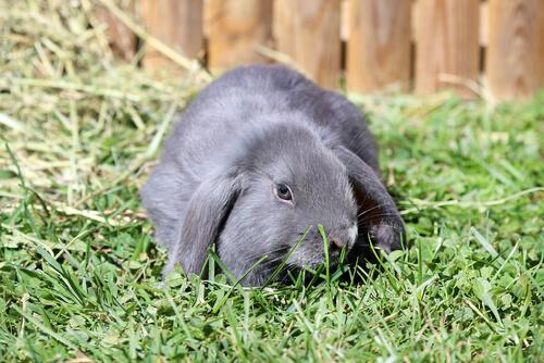 Conejo belier en el césped.