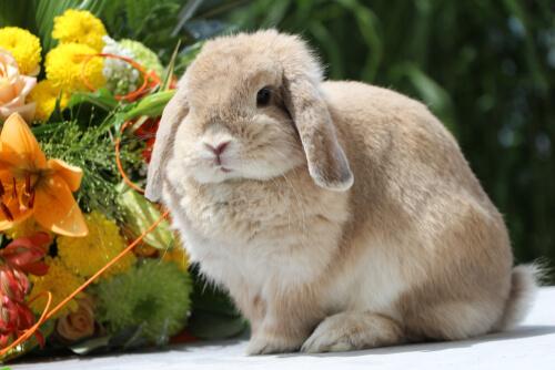 Conejo belier con flores.