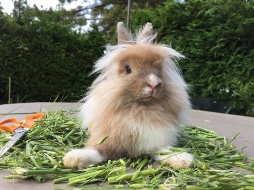 Conejo cabeza de león: alimentación