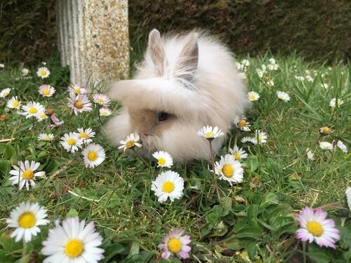 Conejo cabeza de león: características