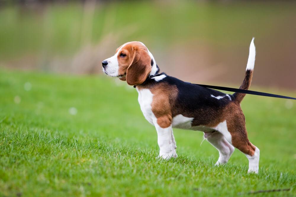 Correa en un cachorro de beagle