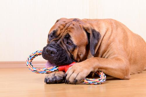 Cuerdas para morder (perros)