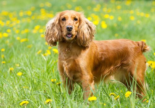 Cuidados de los perros que tienen orejas largas