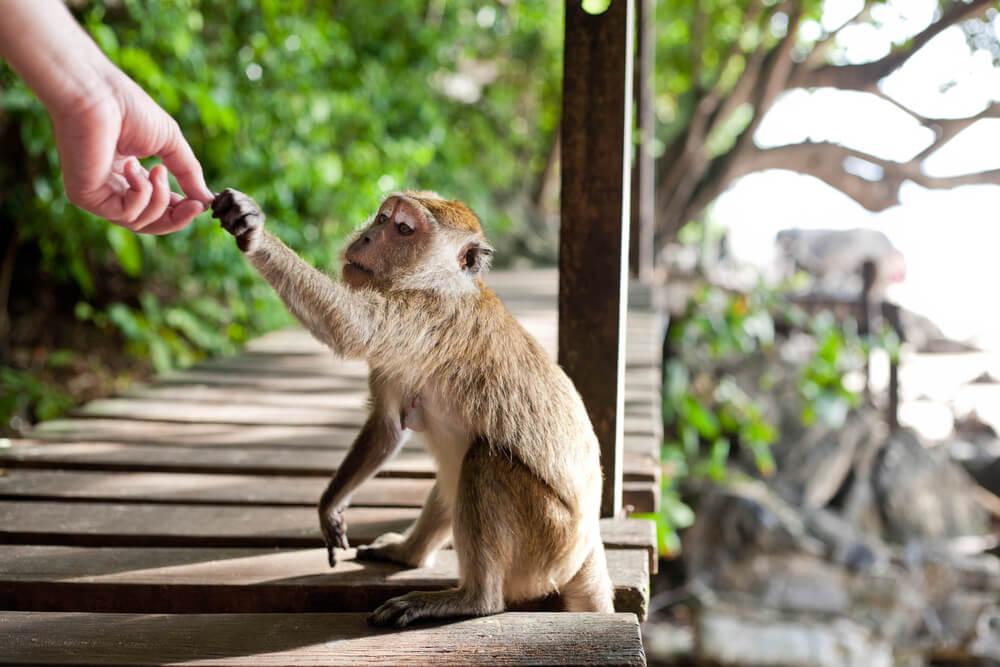Los monos roban por nuestra culpa
