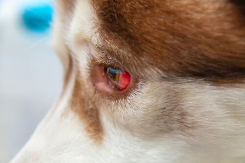 Derrames oculares en perros, cómo tratarlos
