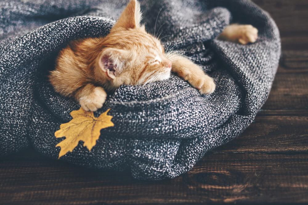 Gato con manta.