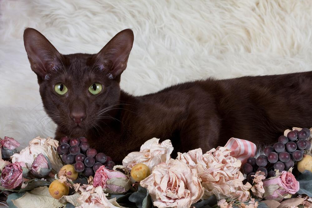 Gato marrón Habana.