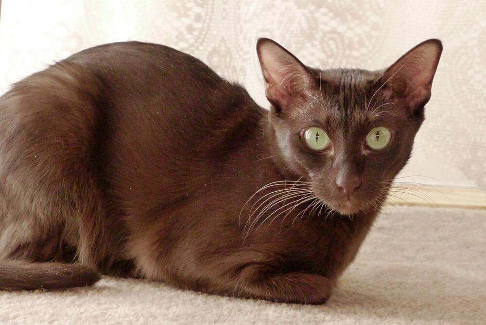 Gato marrón.