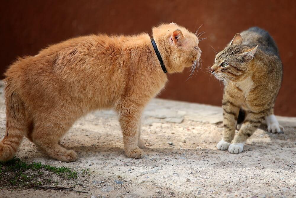 Gatos enfadados.