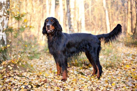Собака породы Гордон Сеттер