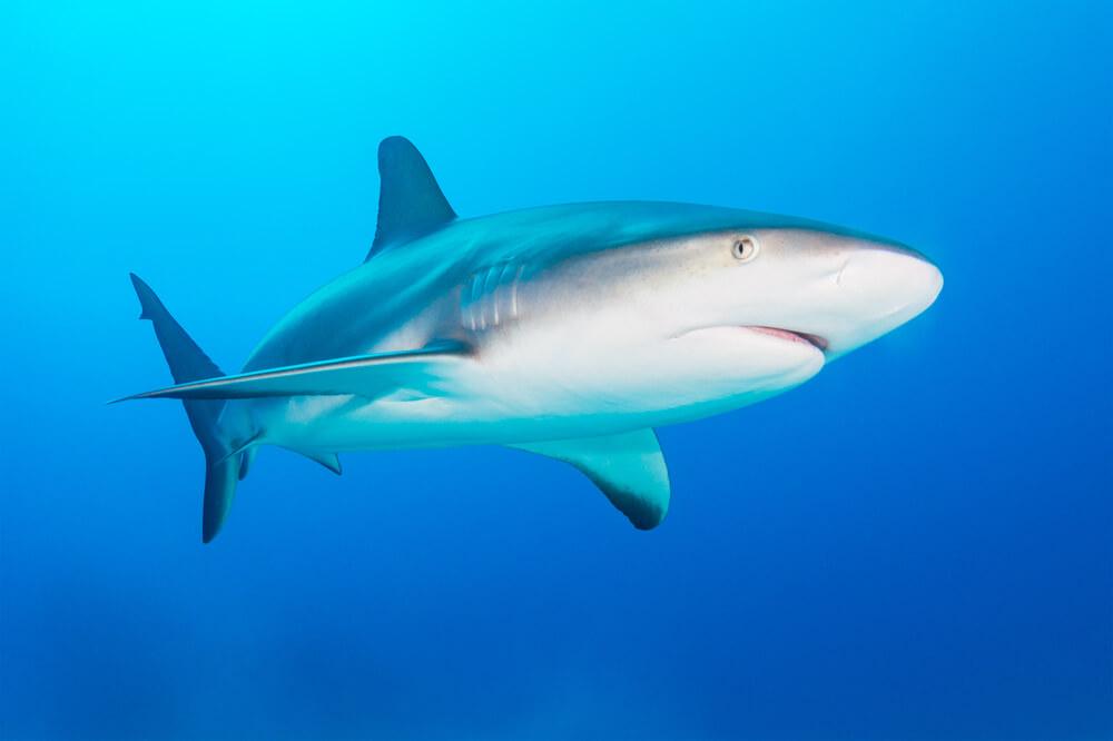 Tiburón gris.