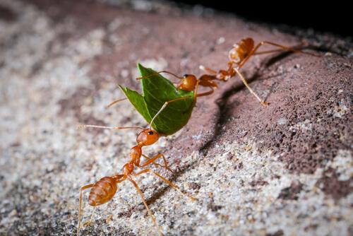 Hormigas recolectoras