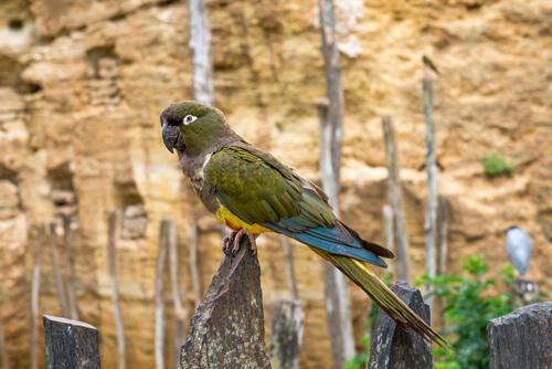 Kakapo: alimentación y reproducción