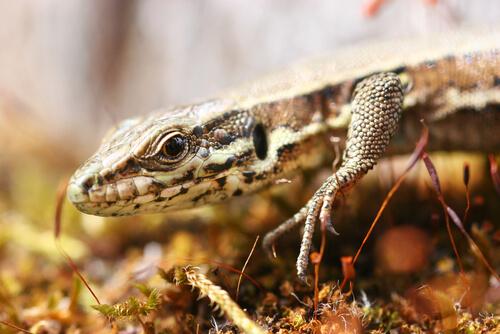 La lagartija: características y curiosidades