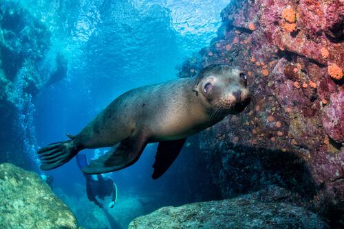 León marino nadando