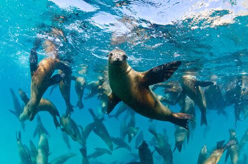 Leones marinos de California en el agua.