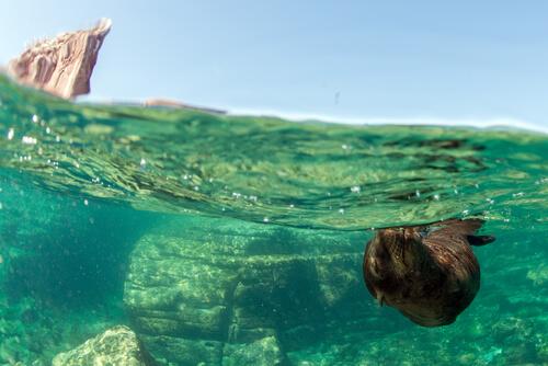 León marino nadando.