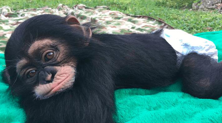 El reencuentro de un chimpancé rescatado y sus cuidadores no es lo que parece