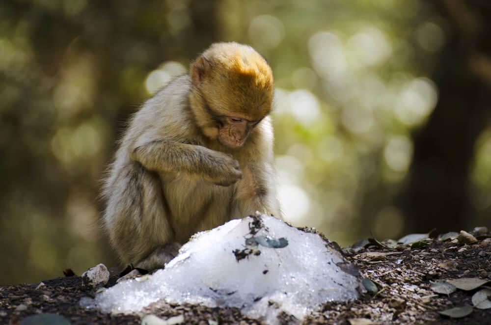 Los monos con más amigos pasan mejor el invierno