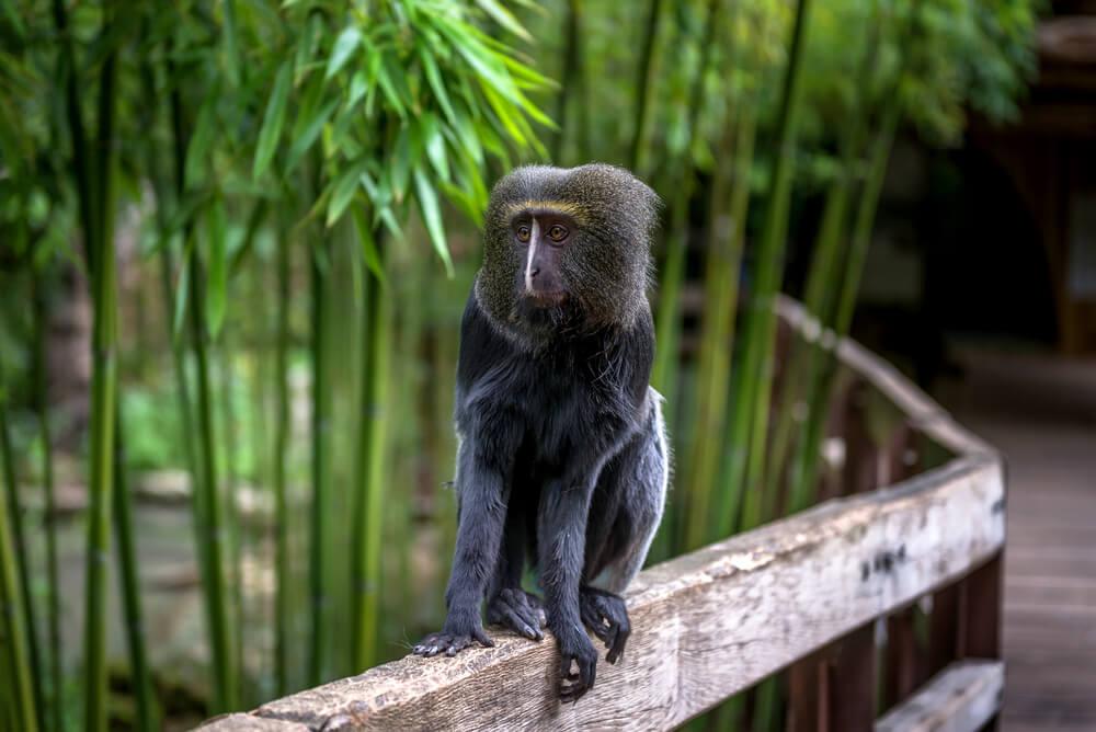 Mono cara de búho.