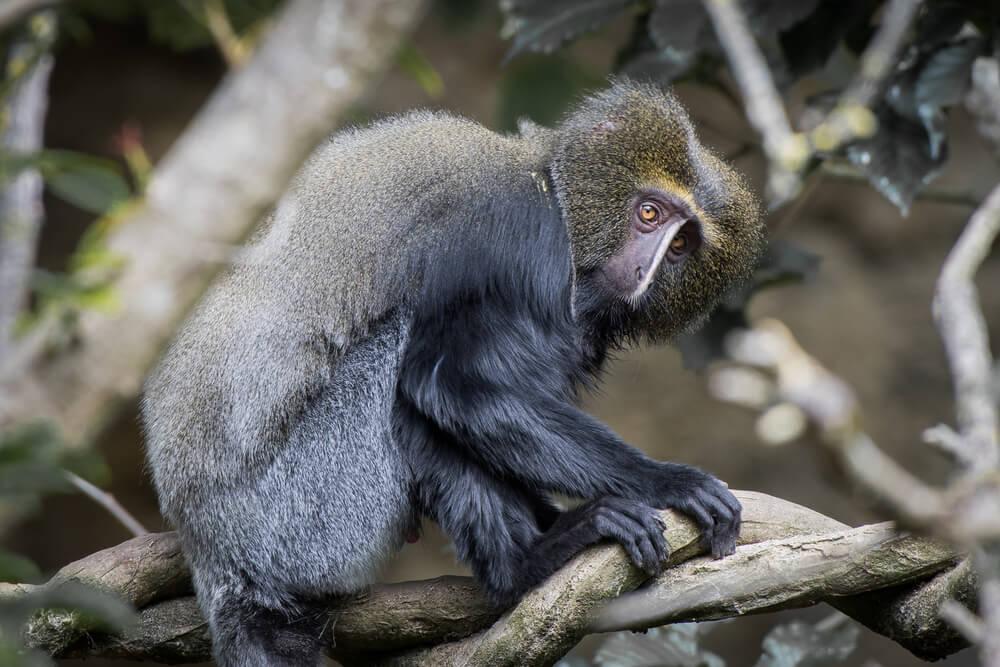 Mono cara de lechuza.