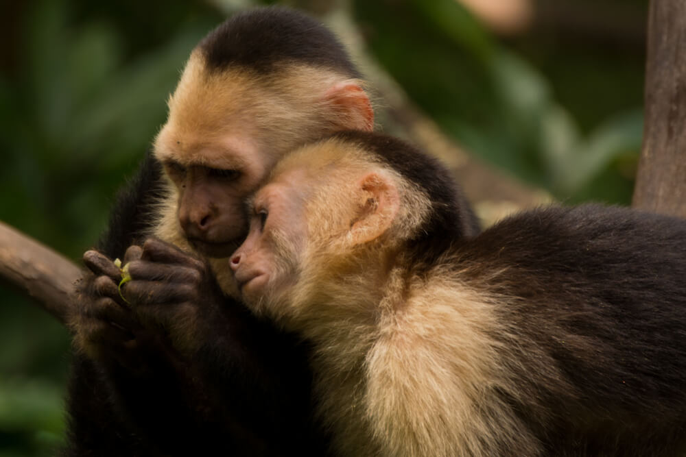 Monos capuchinos.
