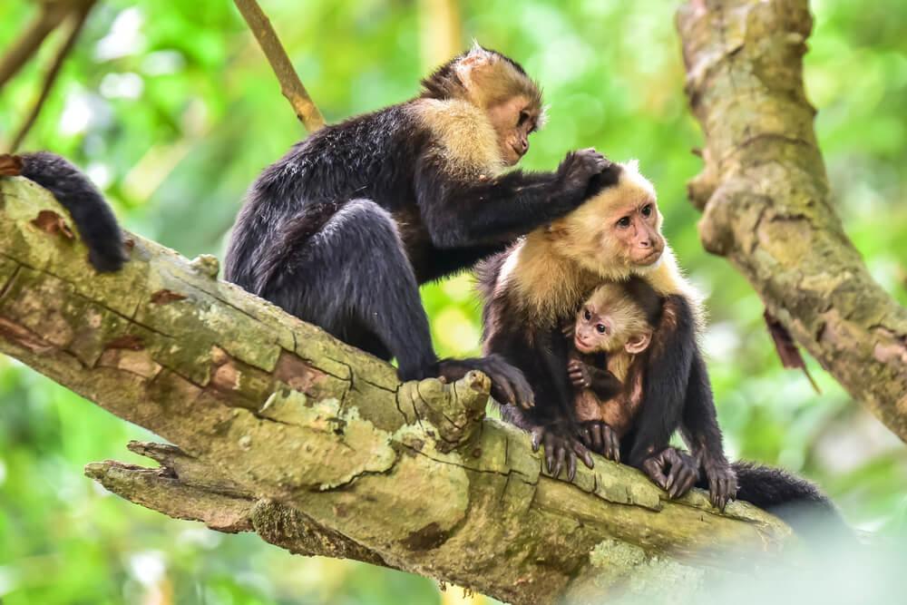 Monos cariblancos.