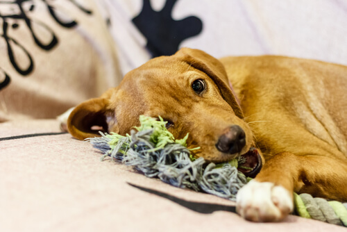 6 pasos para hacer mordedores para perros resistentes