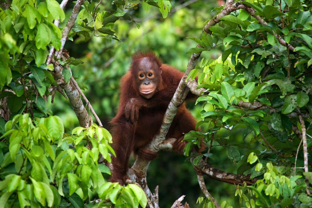 Bebé orangután.