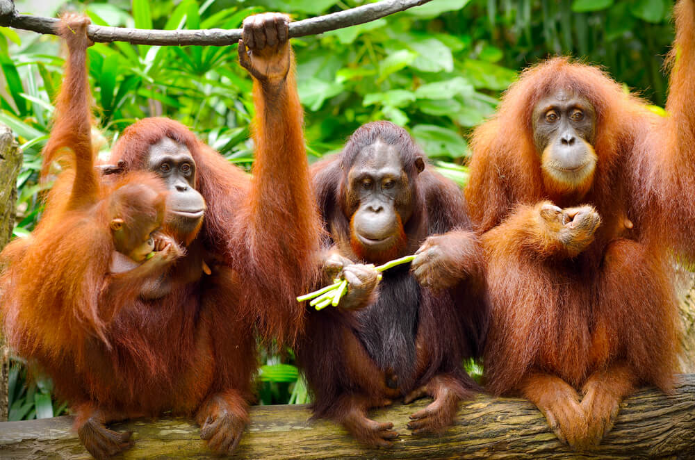 Orangutanes en la selva.