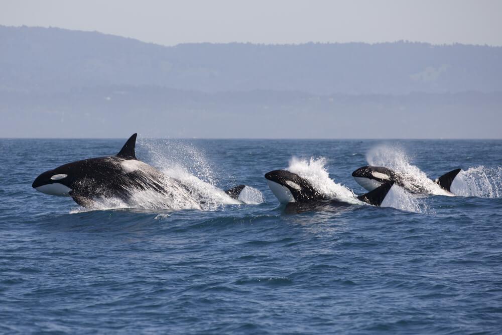Orcas.