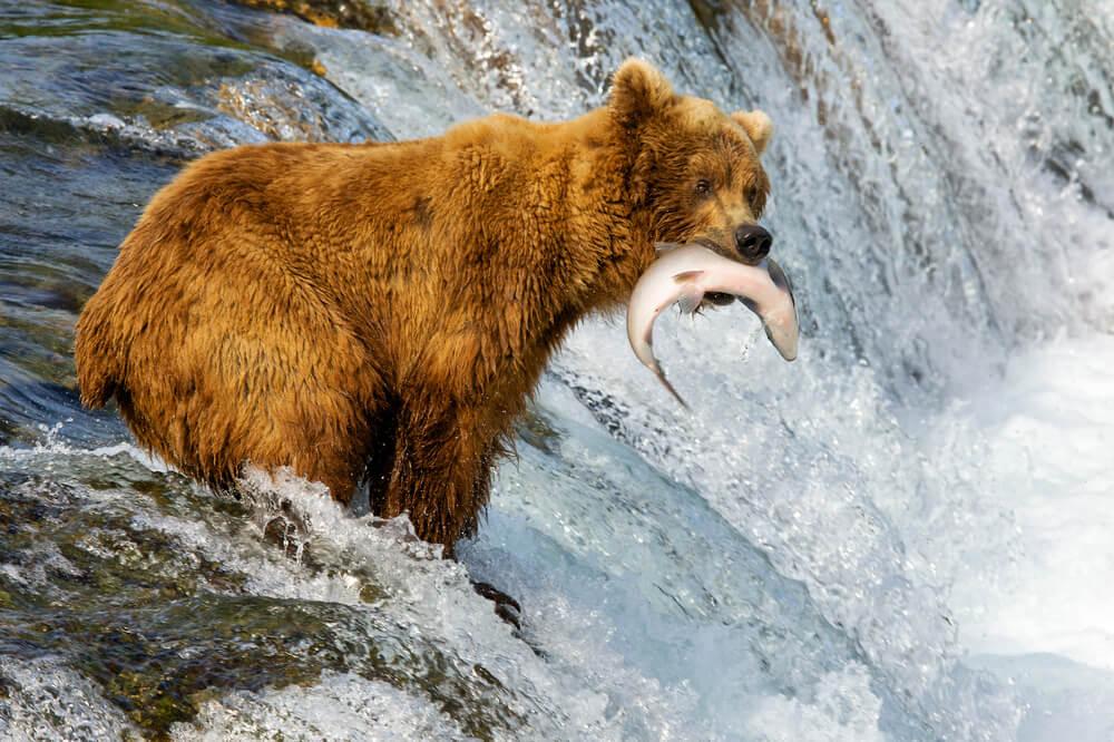 Diferencias entre el oso pardo y el grizzly