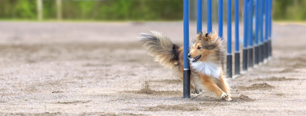 Competición de perros.