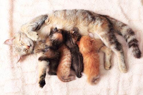 7 consejos a la hora de atender el parto de tu gata