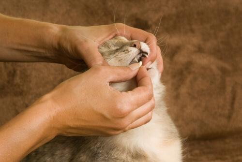 Pastillas anticonceptivas para gatas: dosis