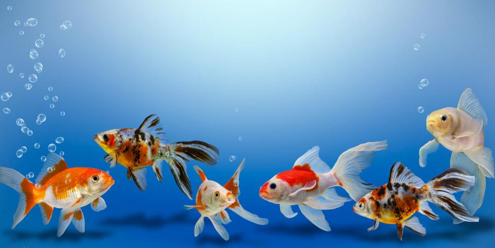 Peces Goldfish.