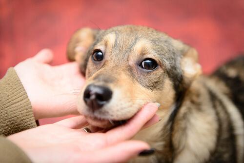 Perro adoptado en las manos de una chica.