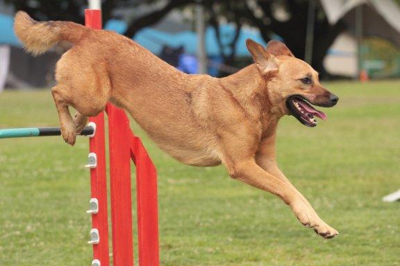 Советы, чтобы взять вашу собаку на конкурс