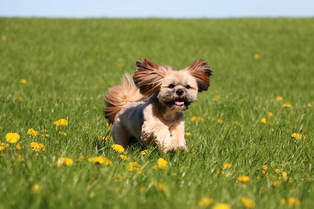 Perro lhasa apso: características y fotos