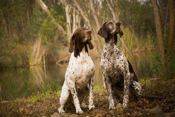 Указатель собаки, один из лучших компаньонов