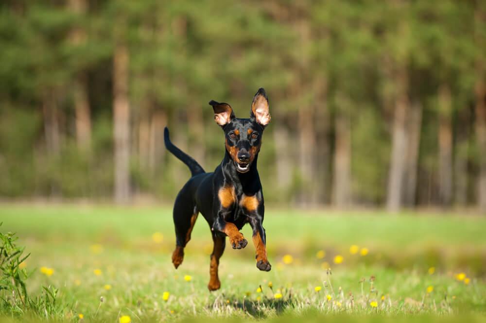 El pinscher enano es una de las de perros más enérgicas