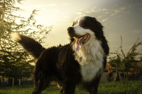 Las razas de perros que más sufren cáncer