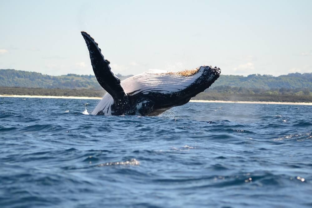 Respiración de las ballenas.