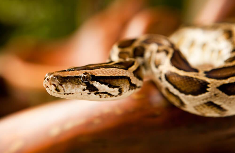 Serpientes como mascotas, ¿es una buena idea?
