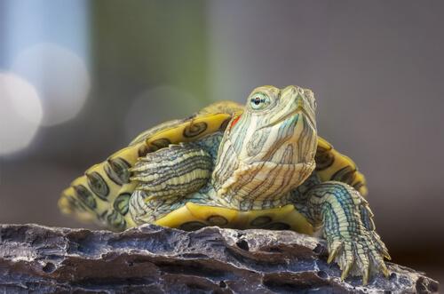 La rinitis en las tortugas y su tratamiento