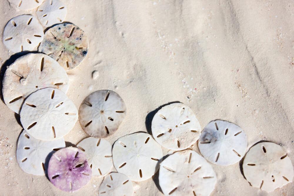 Sand dollar de distintos tipos.